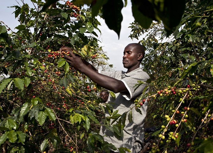 Uganda exports record 5 million coffee bags, earns $494 million