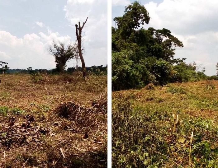 'A shame for the world': Uganda's fragile forest ecosystem destroyed for sugar