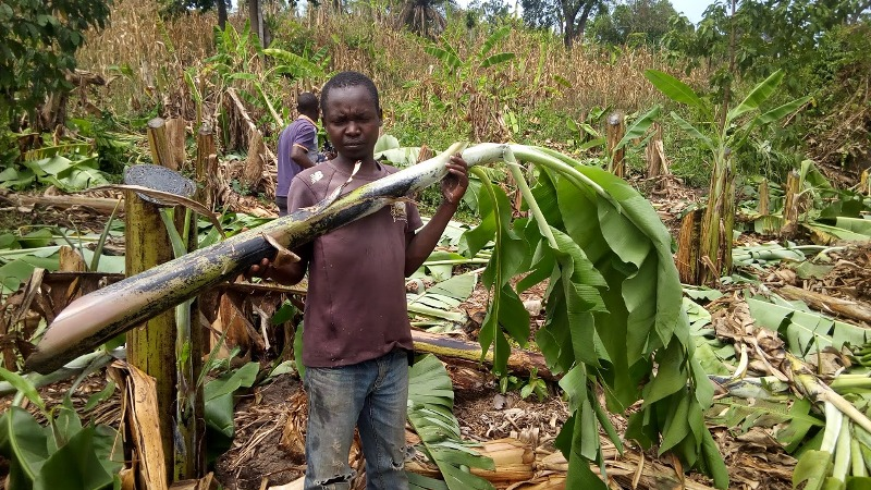 a grieved resident holding stems of slashed plantations