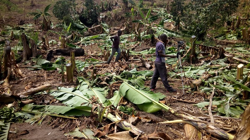 a newsman at the scene filming slashed banana plantation