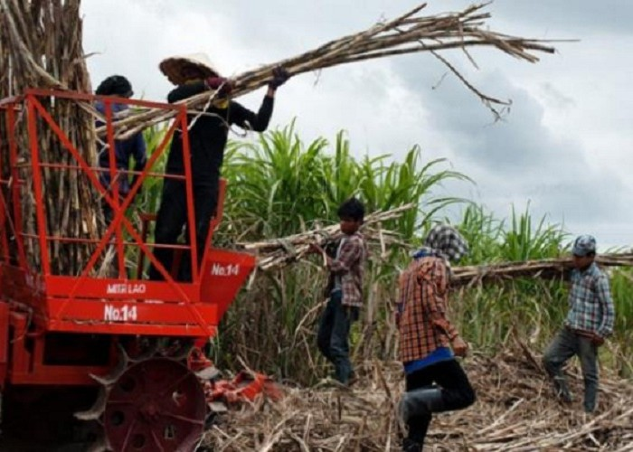 Commercial sugarcane growing is killing indigenous seed varieties in the Busoga region – Report