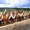 800x466-ankole-cow