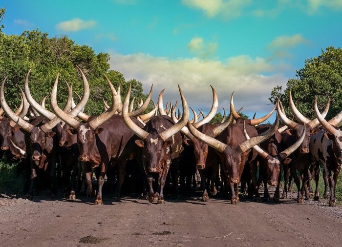 Ankole cattle may vanish in 30 years