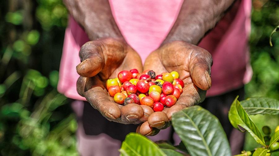 Arabica-Coffee-Uganda