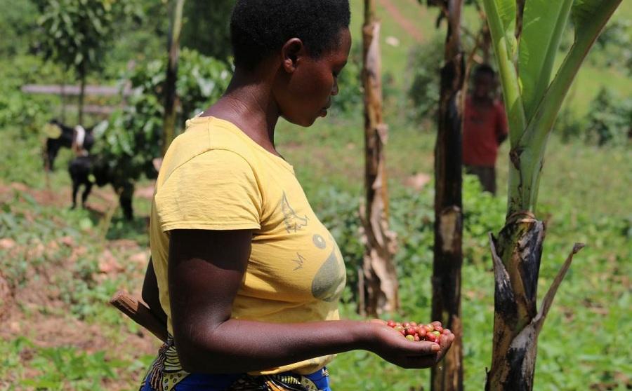 Coffee planting in Uganda