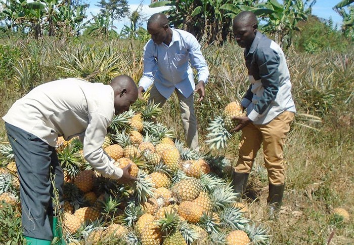 Kayunga to get pineapple juice processing factory