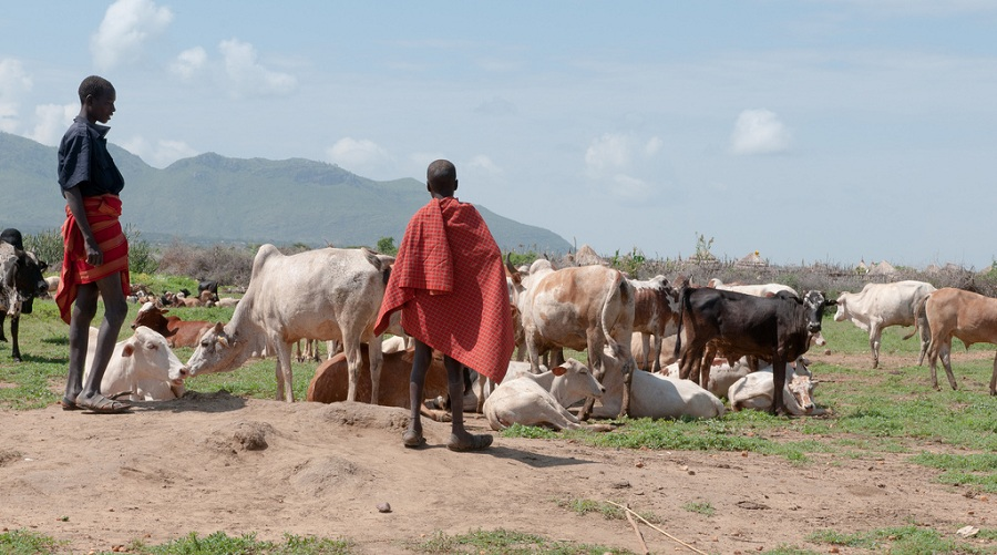 Karamoja and cattle