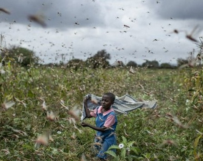 Destructive locust swarms arrive in Uganda