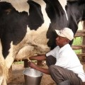 Milking-dairy-cow-1