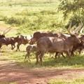 Museveni-cows