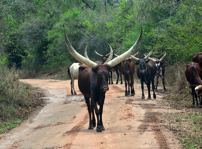 Cattle disease hits Nakasongala again