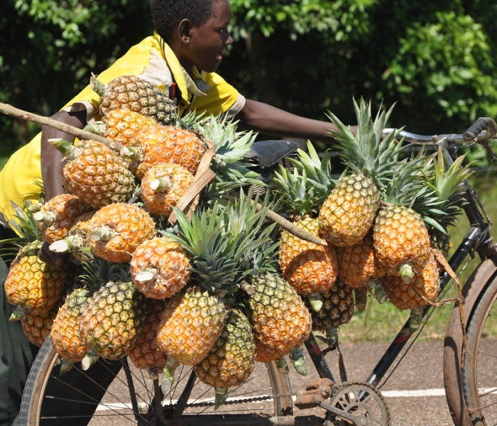 Farmers stuck with pineapples as prices drop to Shs 700