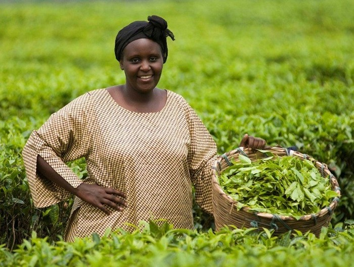 Tea nursery bed operators reject Shs1 billion from Naads