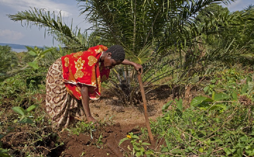 Edith Nomteezo, 30 years old, is clearing land for inter cropping sweet potato with oil palm to supplement the family?s diet.