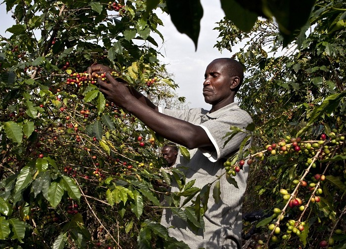 Why coffee prices continue to drop