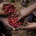 coffee grow Uganda