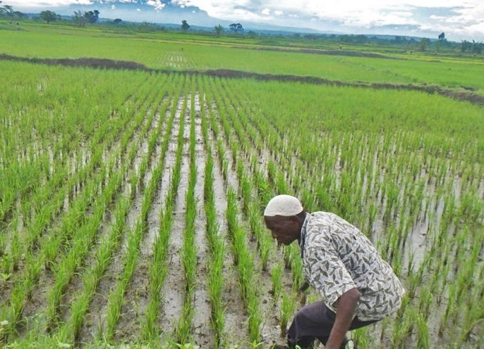 Company gets Shs16b tax break to import rice