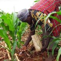 inorganic-fertilizers-agriculture-farming