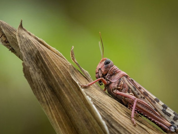 Locust infestation in East Africa: Germany offers emergency aid
