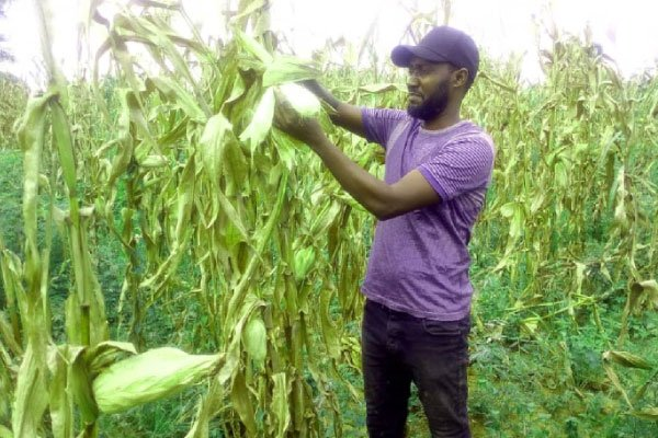 Falling maize prices worry farmers as harvest starts