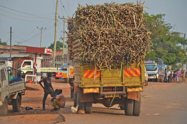 Sugarcane prices in Busoga drop further