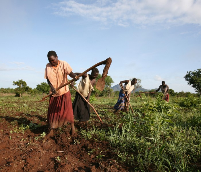 Acreage of land under cultivation increases in northern Uganda