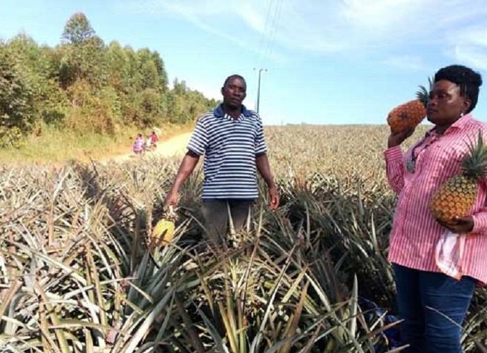 Pineapple prices fall to sh200 in Masaka, farmers stuck