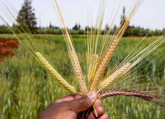 Barley farmers in Sebei receive Shs13m pay out