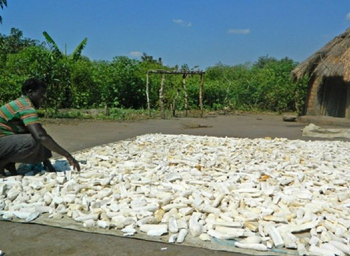Govt injects Shs47b into cassava growing in Bukedi