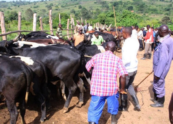 Veterinary officers decry shortage of cattle vaccines