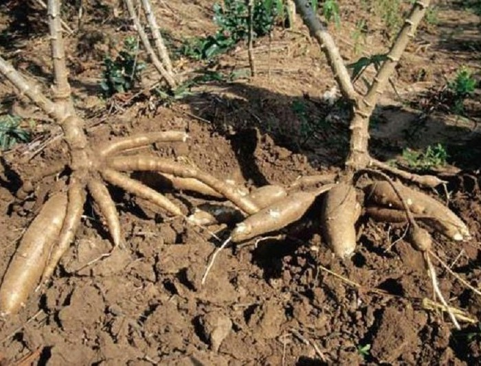 Apac farmers reject OWC's 800 bags of cassava cuttings