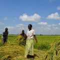 Rice farming in Butaleja District Uganda