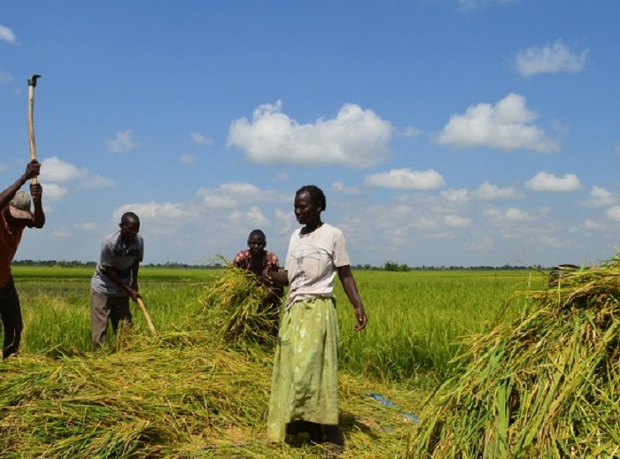 Rice farmers petition land probe over evictions, torture