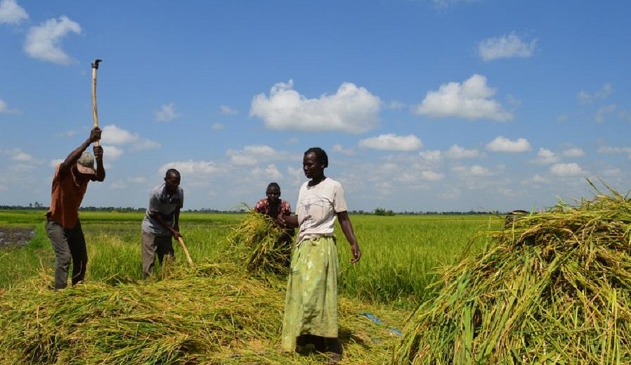 Rice farming in Butaleja District Uganda