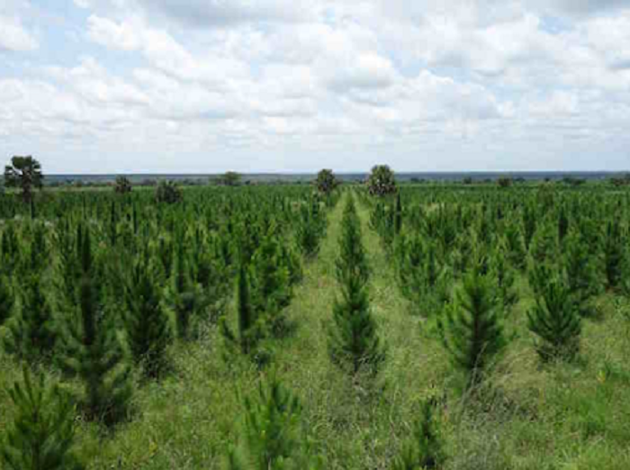 MONOCULTURE TREE PLANTATIONS – Uganda – Promotion of plantation agriculture – a disgrace to human kind and environment